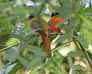 Scarlet-rumped Trogon (Harpactes duvaucelii) - pair