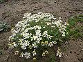Scentless Mayweed - Matricaria perforata - geograph.org.uk - 1166283.jpg