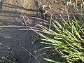 Schedonnardus paniculatus (3884661542) (2).jpg
