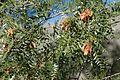 Schinopsis marginata hojas y sámaras.JPG