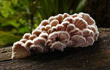 Schizophyllum commune (Split gill) (33389628036).jpg