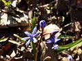 Scilla drunensis sl34.jpg