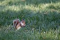 Sciurus carolinensis - Washington Mall - 2012-07-06.jpg