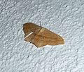 Scopula imitaria. Small Blood-vein. Geometridae Sterrhinae Scopulini - Flickr - gailhampshire.jpg