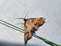 Scorched Wing (Plagodis dolabraria) (8342459796).jpg