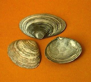 Semelidae family of molluscs