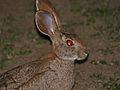 Scrub Hare (Lepus saxatilis) (11966544625).jpg