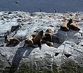 Sea Lions in the Beagle Channel (5525293686).jpg