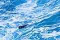 Sea Otter (23181546280).jpg