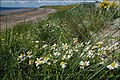 Sea mayweed - geograph.org.uk - 519341.jpg