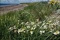 Sea mayweed - geograph.org.uk - 519341.jpg