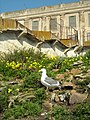 Seagull on Alcatraz (4409975802).jpg