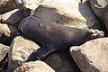 Seal in Morrow Bay 4.jpg