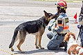 Search and rescue dog, Japan Rescue Association (34690315563).jpg