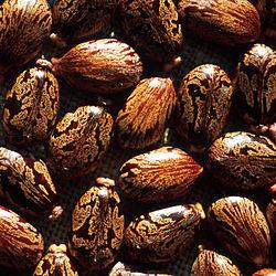 250px-Seeds_of_Ricinus_communis.jpg