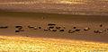Seehundbank im Biosphärenreservate zwischen Norddeich und Norderney (11820661573).jpg