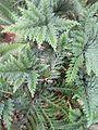 Selaginella flabellata (sélaginelle).jpg