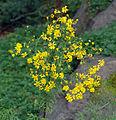 Senecio erucifolius - plant (aka).jpg