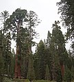 Sequoya National forest Giant Forest en2016 (35).JPG