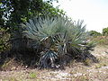 Serenoa repens (blue form) — Scott Zona 001.jpg