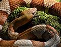 Serpentarium Blankenberge Agkistrodon contortrix 30042015.jpg