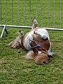 Shetland pony at Boreham, Essex, England 1.jpg
