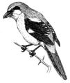 Shrike (PSF).png