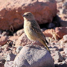 Sicalis luteola - Grassland Yellow-Finch (female).JPG