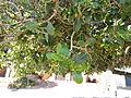 Sideroxylon inerme South African Milkwood foliage IMG 4810.JPG