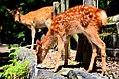 Sika deer in Nara 06.jpg