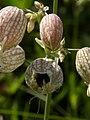 Silene vulgaris - Gewöhnliches Leimkraut mit Frucht.jpg
