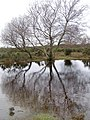 Silver birch and small pond on Stoney Cross Plain, New Forest - geograph.org.uk - 292247.jpg