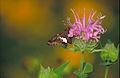 Silver spotted skipper on Wild bergamot.jpg