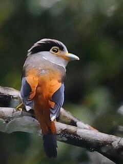 Silver-breasted broadbill species of bird