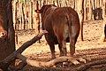 Simental bull 5, Kalakamati farm, Botswana.jpg