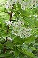 Sinojackia xylocarpa floraison.jpg
