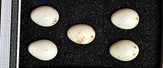 Western rock nuthatch - Eggs, Collection Museum Wiesbaden