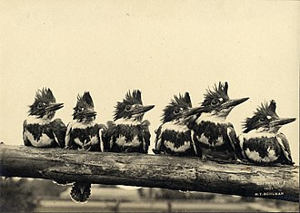 """William L. Finley - """"Six of the frowzy-headed Fishers in a pose"""", from Finley's American Birds, 1908."""