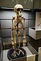 Skeleton of a chimpanzee (25648819947).jpg