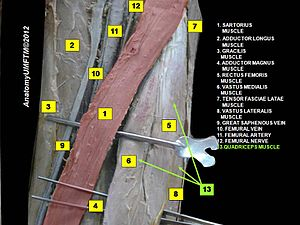 Quadriceps femoris muscle - Image: Slide 2dddd