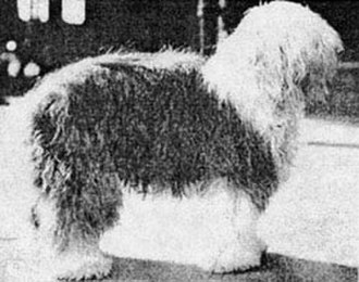 Old English Sheepdog - Ch. Slumber, best in show at the Westminster Kennel Club Dog Show in 1914, one of the two times an Old English Sheepdog has won there.