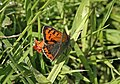 Small Copper Butterfly, nr Tendera - geograph.org.uk - 625400.jpg