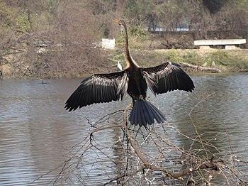 Snake bird of Bharatpur Bird Sanctuary in Bharatpur, Rajasthan.jpg