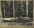 Snigging maple at Danbulla, North Queensland (8137875833).jpg