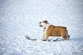 Snowboarding Dog (8438783471).jpg