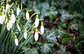 Snowdrops In March (168182547).jpeg