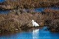 Snowy egret (38352363405).jpg