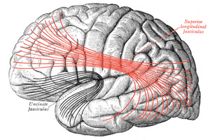 Superior longitudinal fasciculus - Lateral surface of left cerebral hemisphere. Some of major association tracts are depicted. Superior longitudinal fasciculus is at center, in red.