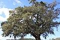 Sobreiro do Largo da Igreja - Parada de Todeia, Paredes - 06.jpg