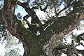 Sobreiro do Largo da Igreja - Parada de Todeia, Paredes - 21.jpg
